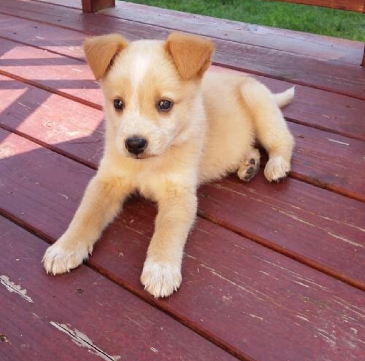 Cutest Husky Mix Puppy You Ve Ever Seen