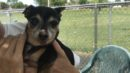 14-year-old chihuahua surrendered to shelter in need of a home