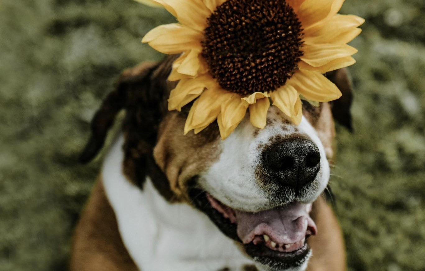 Local photographer offering sunflower sessions with your dog