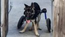 Sweet dog with disability in need of a home