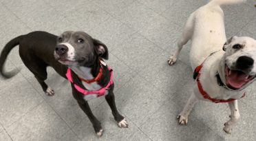 Bonded shelter dogs who cry for each other when they aren't together in need of a home