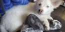 Blind and deaf puppy in need of a very special home