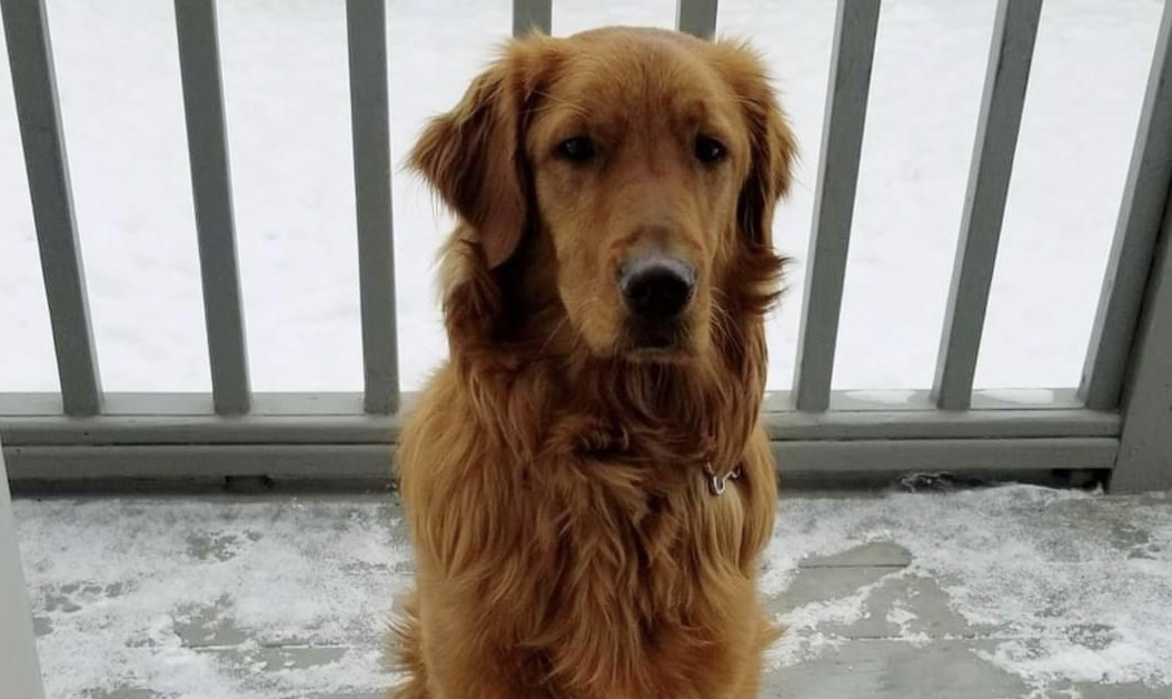 Golden Retriever named Murphy has gone missing, family offering $500 reward to find him
