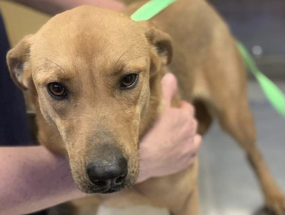 Sad dog named Belle surrendered to shelter by owner in need of a foster to be saved