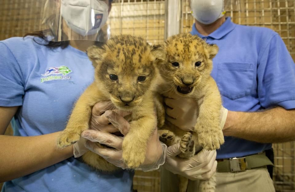 Baby lions born at Buffalo Zoo and they are absolutely adorable!