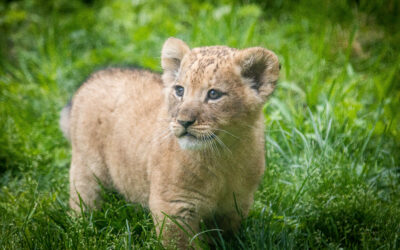 The Buffalo Zoo wants you to name the lion cubs!