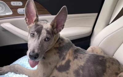 Dog with kangaroo ears in need of a foster home