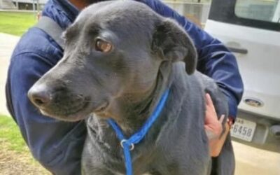 Rescue dog hit by car is lost and scared in WNY, call if you spot her